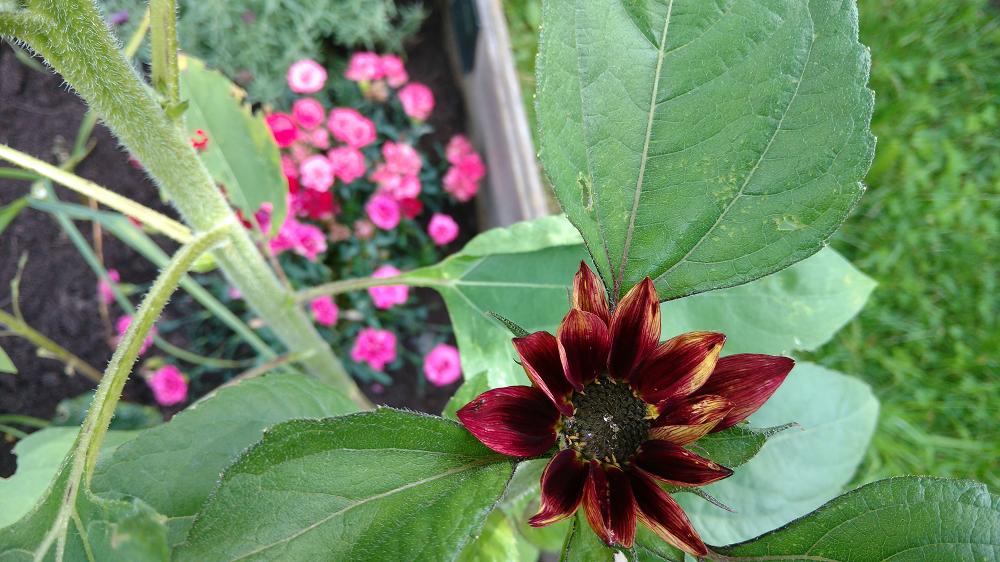 Eine rote Sonnenblume