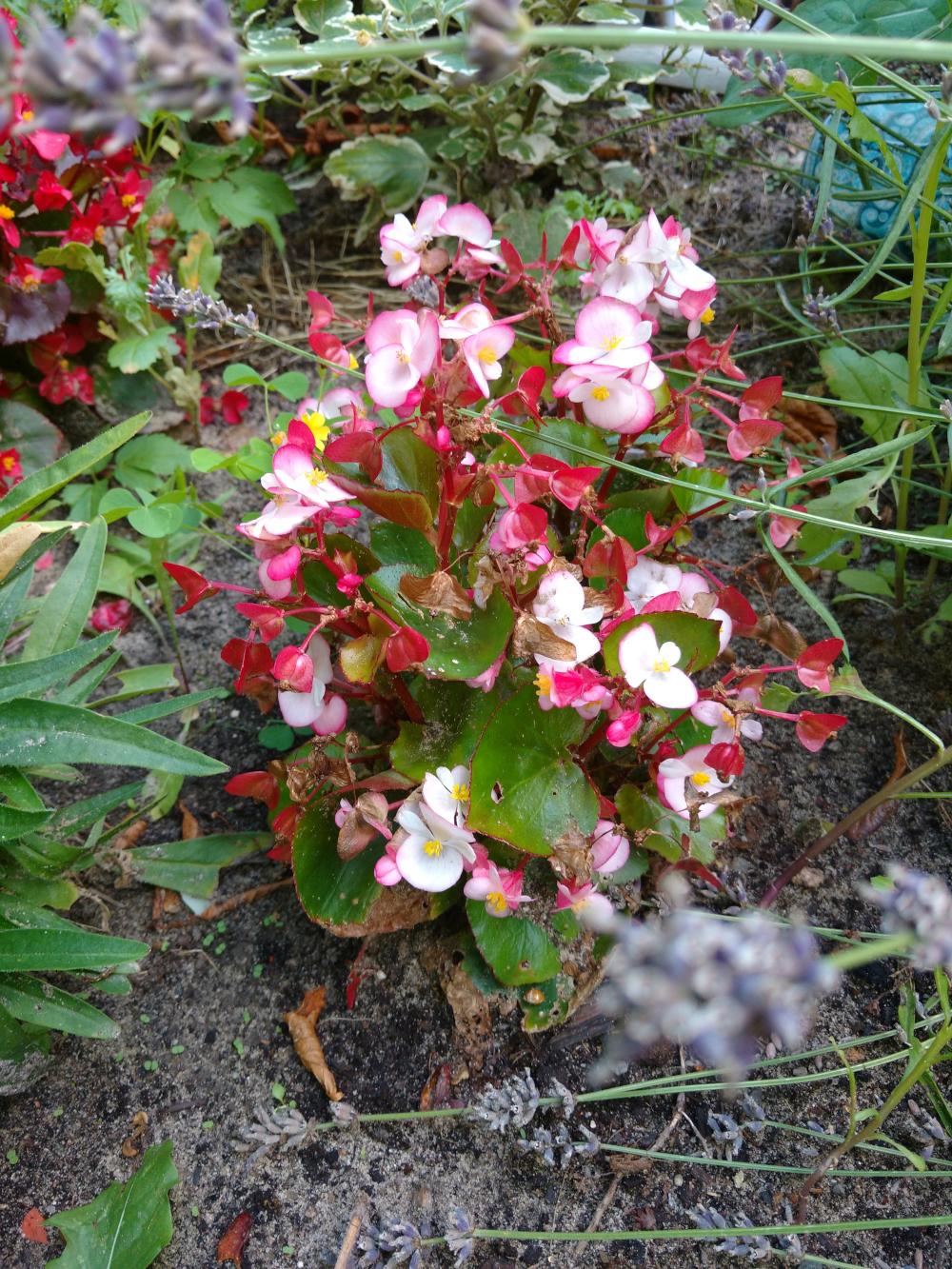 Eine unbekannte Pflanze mit roten und rosa Blüten